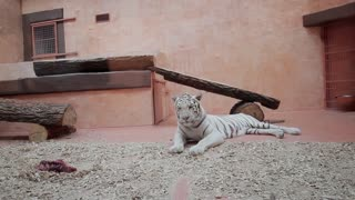 White tiger went to sleep. Tiger in a zoo.