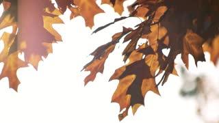 Windblowing oak leaves. White bright sky background.