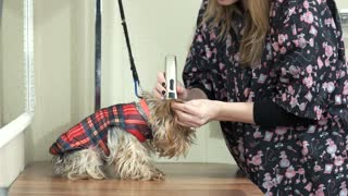Woman with trimmer grooming dog. Cute york terrier. Dog grooming techniques.