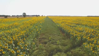 Yellow sunflower field and sky. Road and nature.