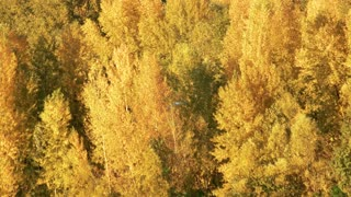 Yellow trees in the forest. Close up. Flying bird.