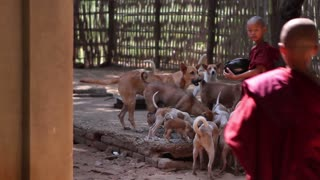 Young monks feed the dogs. Dog shelter. Flock of dogs.