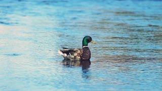 Beautiful 4k shot of a duck enjoying a swim in the river