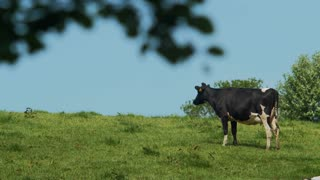 Beautiful cow staring in the distance thinking, 4k Panasonic gh4