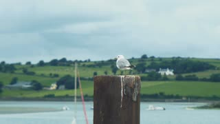 Beautiful seagull on a wooden post by the port, looking at the boats. 4K video