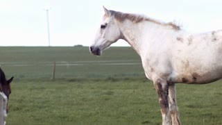 Beautiful white horse joned by a brown horse looking at the camera. Full HD