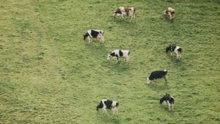 Beautiful wide bird view shot of 8 cows grazing