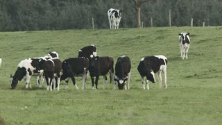 Group of cows grazing in the field
