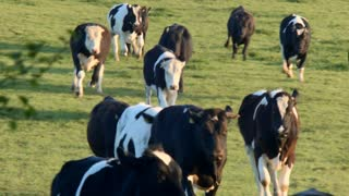 Herd of cows running toward the camera, 4K Panasonic GH4