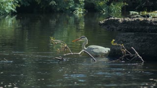 Heron catching a fish and eating it. 4K video