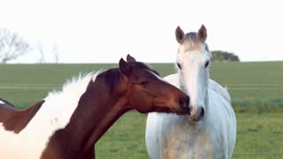 Horse taking care oh the partner, full HD