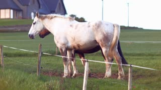 Horses couple enjoying playing and chasing each others in a beautiful afternoon. Full hd