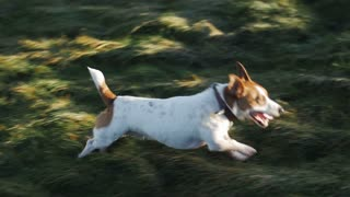 Jack Russell runnning into the field ina lovely afternoon. Slow motion