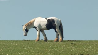 Long haired horse grazing in the sunshine