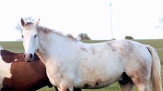 Panning shot of Horses couple enjoying a beautiful afternoon. Full hd