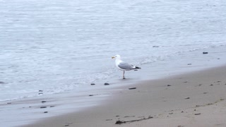 Seagull fishing on the shore. slow motion video.