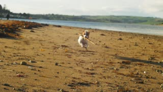 Terrier dog running on the beach and fetching a stick, beautiful sunset and a great dog walk. Slow motion video, full HD.
