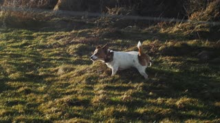 Terrier dog walking on the grass and marking his territory, beautiful sunset and a great dog walk. Slow motion video, full HD.