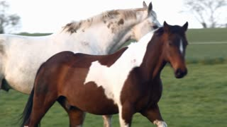Two beautiful horse playing in the meadow