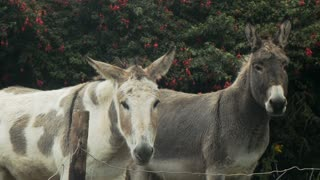 Two lovely Donkeys grazing and resting. 4K video