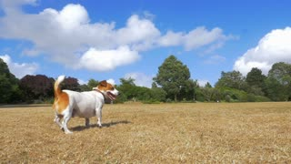 Jack Russell fetching with a stick, dog waiting for the stick to be thrown. Super slow motion