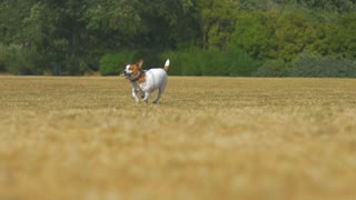 Jack Russell fetching with a stick, panting, dog waiting for the stick to be thrown. Super slow motion