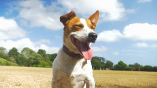Jack Russell staring at other dogs, panting in the sun and waiting for commands. Slow motion video full hd