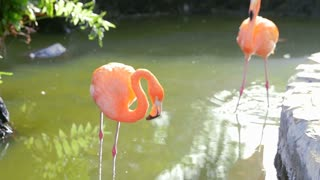 A flamingo walking around in water picking and cleaning itself