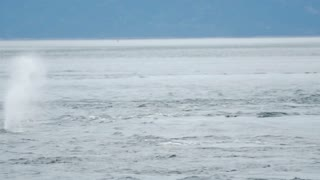 A Minke whale comes up to breathe in the Saint Lawrence River 2