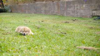 Adorable Puppy Dog Outside On Grass Running And Playing