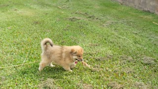 Adorable Puppy Dog Outside Walking With Grass Stalk