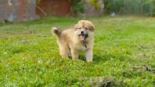 Adorable Tired Puppy Dog Outside On Grass Still Wants To Play