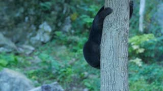 Black bear climbs down a tree with large rocks behind