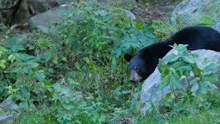 Black bear walking around on grass between rocks 2