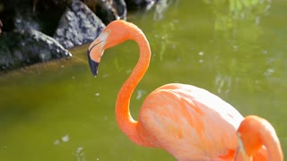 Flamingo shaking head and cleaning itself while standing in water