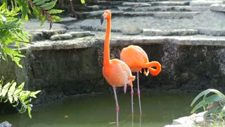 Flamingo standing tall stretching and flapping wings in water