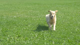 Golden Retriever Dog Running and Fetching Ball Wide