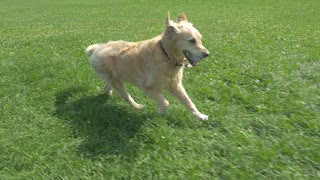 Golden Retriever Dog Running With Ball In Mouth