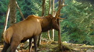 Large Elk sharpening antlers on tree and breathing heavy