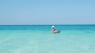 Pelican Bird Floating In Tropical Water In The Caribbean Ocean 2