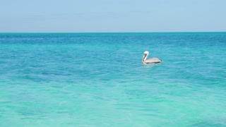 Pelican Bird Floating In Tropical Water In The Caribbean Ocean 3