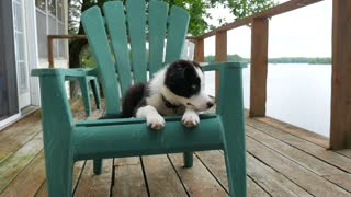 Adorable Border Collie Puppy With Different Colored Eyes Laying On A Chair