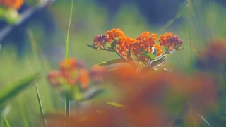 Beautiful Butterfly Weed Plant On Sunny Summer Day 02