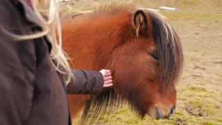 Iceland Female Petting Brown Icelandic Horse 1