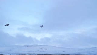 Iceland Gull Birds Gliding On Strong Ocean Winds During Winter 1