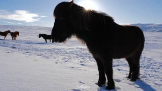 Iceland Snow Covered Land With A Brown Icelandic Horse On A Sunny Day 1