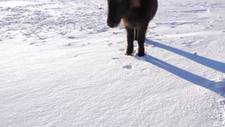 Iceland Snow Covered Land With A Brown Icelandic Horse On A Sunny Day 2