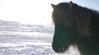 Iceland Snow Covered Land With Close Up Of Brown Icelandic Horse On A Sunny Day 1