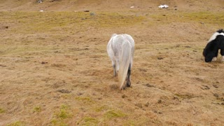 Icelandic Horses Eating Grass In Winter 1