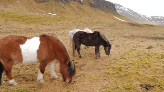 Icelandic Horses Eating Grass In Winter 2